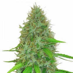 2 FAST 2 VAST AUTO (5) HEAVYWEIGHT SEEDS