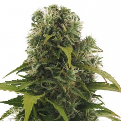 HIGH DENSITY AUTO (10) HEAVYWEIGHT SEEDS