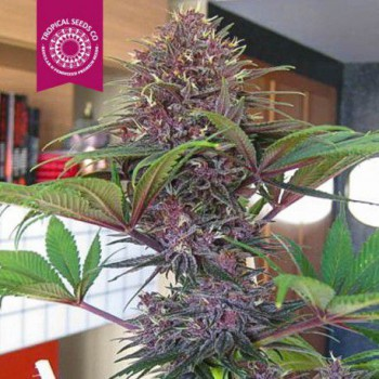 BISHO PURPLE (5) 100% TROPICAL SEEDS