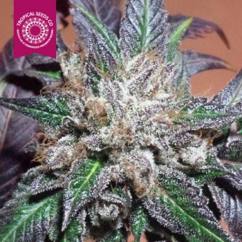 BUBBLER KUSH (10) REGULAR TROPICAL SEEDS