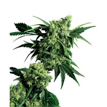 MR NICE G13 x HASHPLANT REGULAR (10) SENSI SEEDS