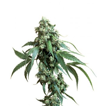JACK FLASH5 100% (3) SENSI SEEDS