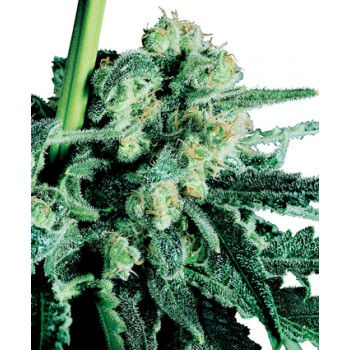 SENSI SKUNK REGULAR (10) SENSI SEEDS