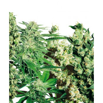 FEMINIZED MIX (5) 100% SENSI SEEDS