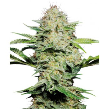 SENSI SKUNK AUTOMATIC (10) SENSI SEEDS