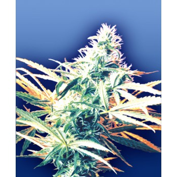 TITAN´S HAZE REGULAR (10) FLYING DUTCHMEN