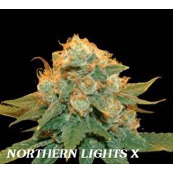 NORTHERN LIGHTS X (1) 100% GENEHTIK SEEDS HAZIAK