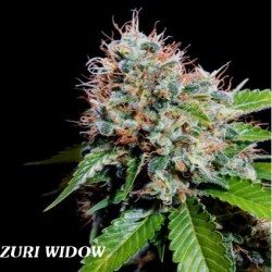 ZURI WIDOW (5) 100% GENEHTIK SEEDS HAZIAK