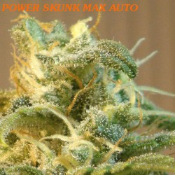 POWER SKUNK MAX AUTO (1) 100% KANNABIA