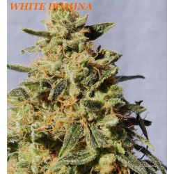 WHITE DOMINA (5) 100% KANNABIA
