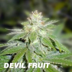 DEVIL FRUIT (5) 100% MEDICAL SEEDS