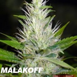 MALAKOFF (3) 100% MEDICAL SEEDS