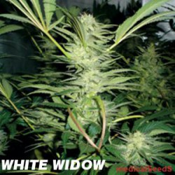 WHITE WIDOW (5) 100% MEDICAL SEEDS