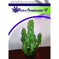 AUTO ANESTESIA 47 (5) 100% MOON GENETIC
