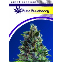 AUTO BLUEBERRYS (5) 100% MOON GENETIC