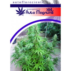AUTO MAGNUM XXL (3) 100% MOON GENETIC