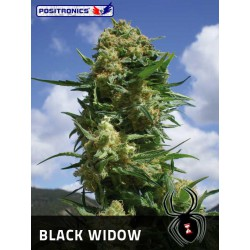 BLACK WIDOW (1) 100% POSITRONICS