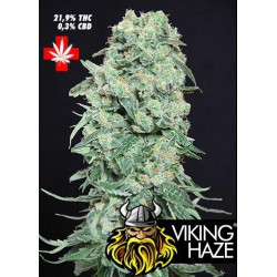 VIKING HAZE (10) 100% PURE SEEDS