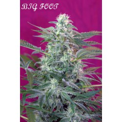 BIG FOOT (3+1) 100% SWEET SEEDS