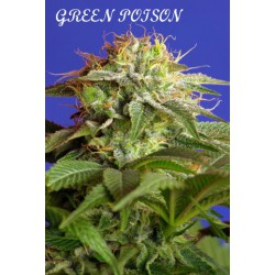 GREEN POISON (3+1) 100% SWEET SEEDS