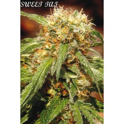 SWEET TAI (5+2) 100% SWEET SEEDS