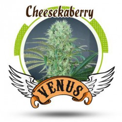 CHEESKABERRY (3) 100% VENUS