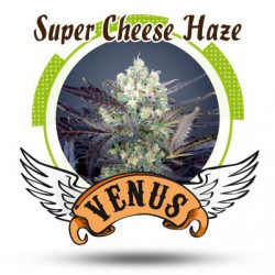 SUPER CHEESE HAZE (5) 100% VENUS