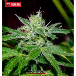 HIGH RYDER (AUTO SUPER BIG) (3) 100%  XTREME SEEDS