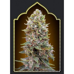 AUTO HASHCHIS BERRY (5) 100% 00 SEEDS