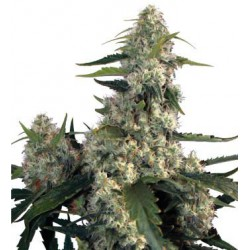 QUASAR BLISTER (10) 100% BUDDHA SEEDS BANK