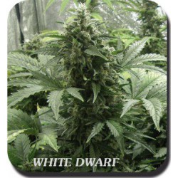 WHITE DWARF BLISTER (10) 100% BUDDHA SEEDS BANK