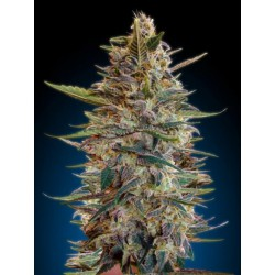 AUTO BLUE DIESEL BLISTER  (10) 100% ADVANCED SEEDS