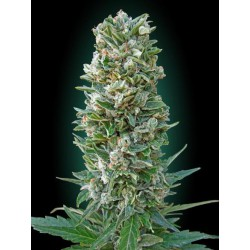 AUTO HEAVY BUD (3) ADVANCED SEEDS