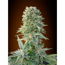 AUTO JACK HERER (3) 100% ADVANCED SEEDS