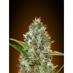 AUTO SOMANGO BLISTER (10) 100% ADVANCED SEEDS