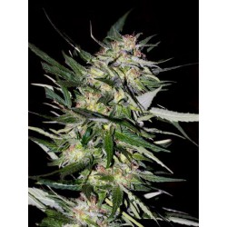 JACK PLANT (3) 100% ADVANCED SEEDS