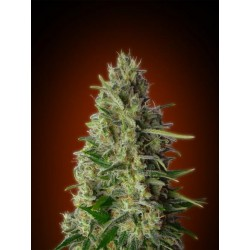 KALI 47 (BLISTER 10 IND) 100% ADVANCED SEEDS