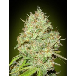 SHARK WIDOW (3) 100% ADVANCED SEEDS