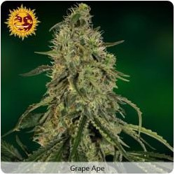 GRAPE APE (10) 100%  BARNEY´S FARM SEEDS