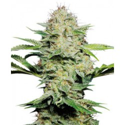SENSI SKUNK AUTOMATIC (3) SENSI SEEDS