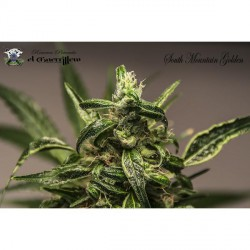 SOUTH MOUNTAIN GOLDEN (3) 100%  XTREME SEEDS