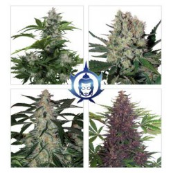 ASSORTED AUTO BLISTER (10) BUDDHA SEEDS BANK