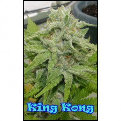 KING KONG (4) 100% DR. UNDERGROUND