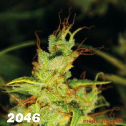 2046 (BLISTER 10 IND) 100%  MEDICAL SEEDS