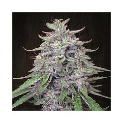 BANGI HAZE (1) 100% ACE SEEDS