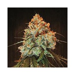 GOLDEN TIGER (5) 100% ACE SEEDS