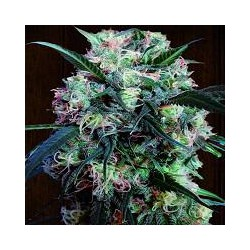 KALI CHINA (1) 100% ACE SEEDS