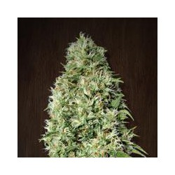 ORIENT EXPRESS (5) REGULAR ACE SEEDS
