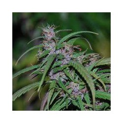 PURPLE HAZE (5) REGULAR ACE SEEDS
