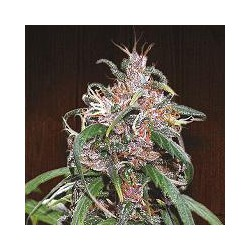 PURPLE HAZE THAI (5) REGULAR ACE SEEDS